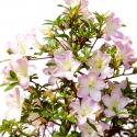 Azalea Sakurakomachi - 38 cm KB41