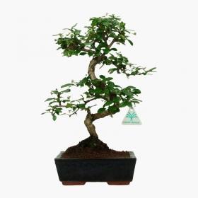 Carmona macrophylla -  Pianta del tè - 37 cm