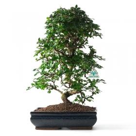 Carmona macrophylla -  Pianta del tè - 51 cm