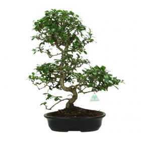Carmona macrophylla -  Pianta del tè - 59 cm