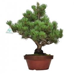 Pinus pentaphylla - Pine five needles - 41 cm