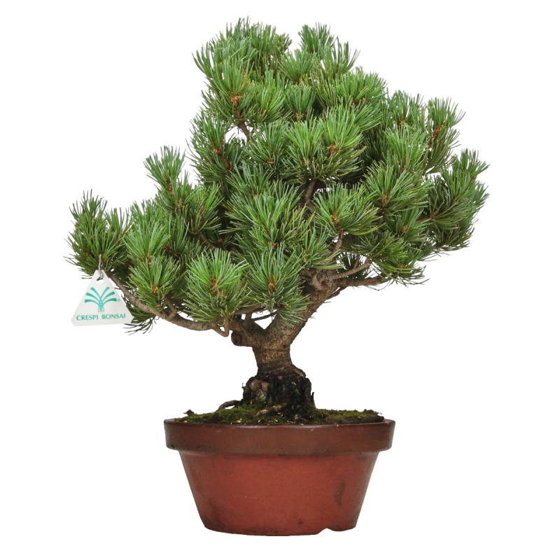 Pinus pentaphylla - Pin à cinq aiguilles - 41 cm