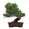 Pinus pentaphylla - Pine five needles - 42 cm