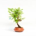 Metasequoia - 22 cm