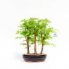 Metasequoia - 21 cm