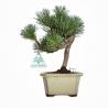 Pinus pentaphylla - Pine five needles - 23 cm