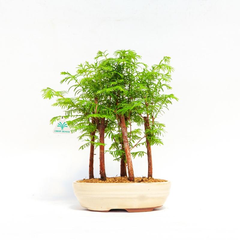 Metasequoia - 23 cm