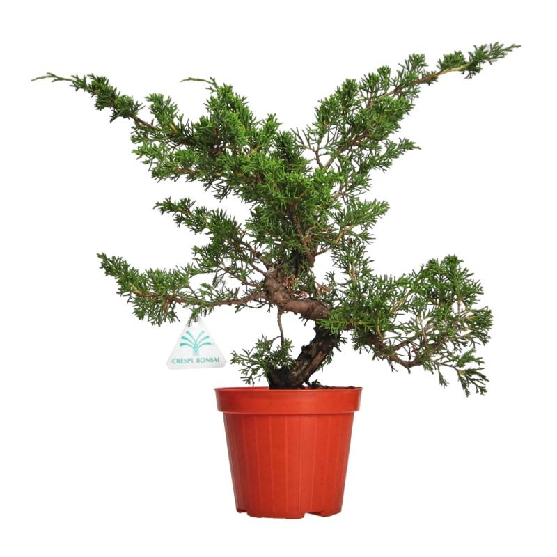 Juniperus chinensis - Genévrier de Chine - 36 cm