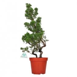 Juniperus chinensis - Ginepro - 47 cm