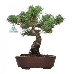 Pinus pentaphylla - Pin à cinq aiguilles - 33 cm