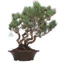 Pinus pentaphylla - Pin à cinq aiguilles - 44 cm