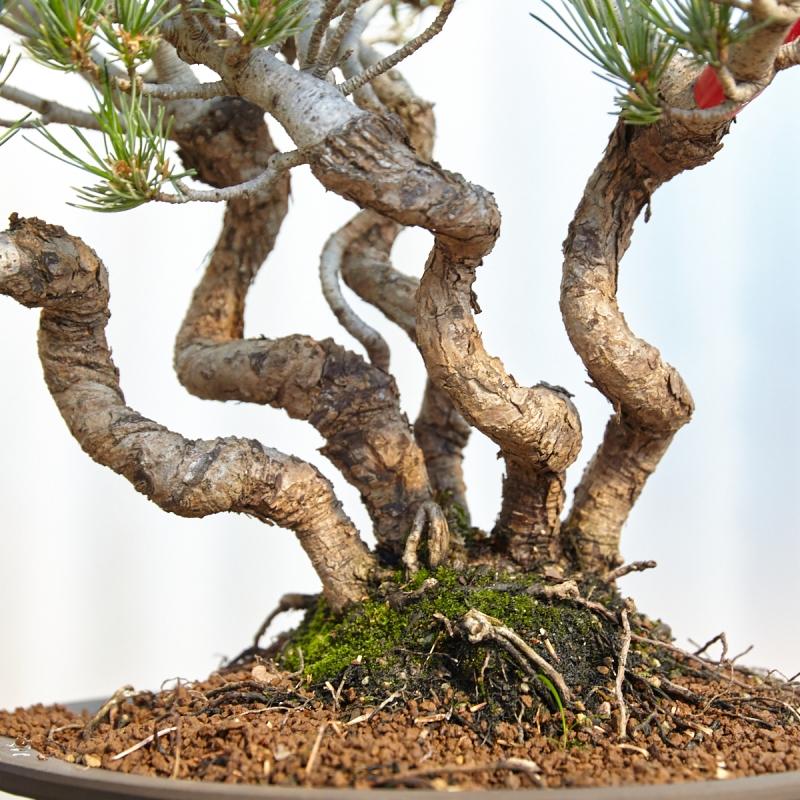 Pinus pentaphylla  - Pino - 44 cm