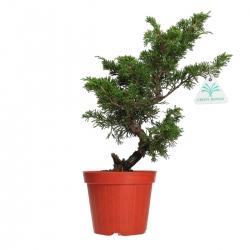 Juniperus chinensis - Ginepro - 33 cm