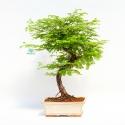 Metasequoia - 33 cm