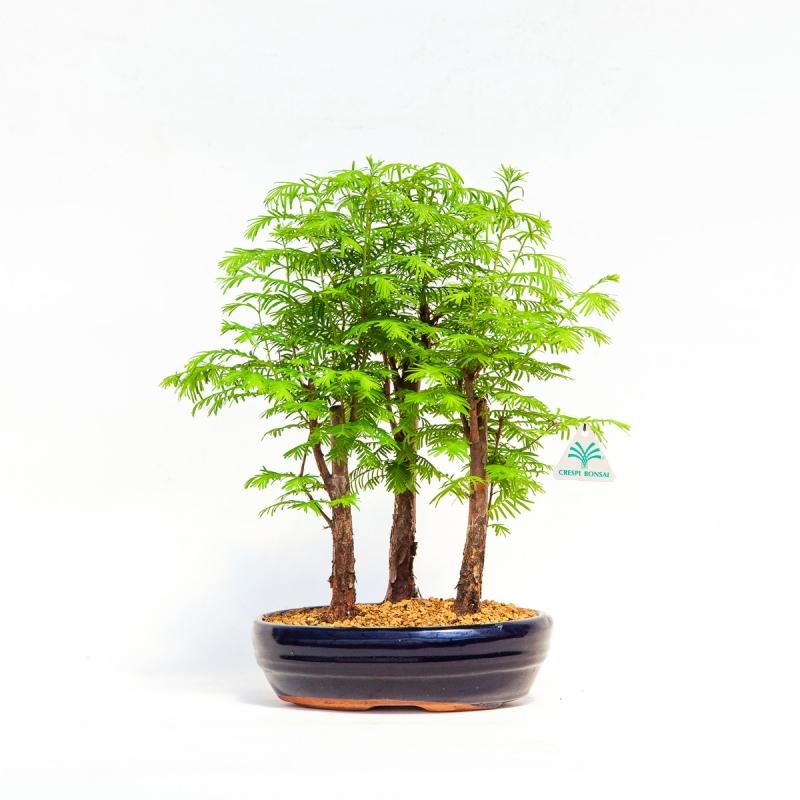 Metasequoia - 26 cm