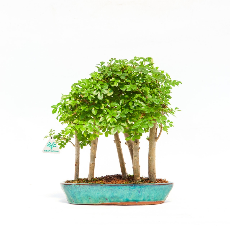 Fraxinus - frassino - 20 cm