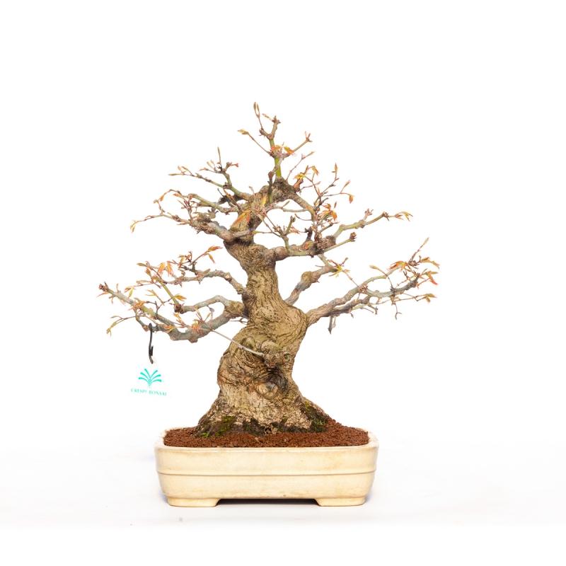 Acer palmatum - 36 cm