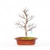 Fagus crenata - 44 cm
