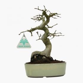 Carpinus coreana - Carpino - 23 cm