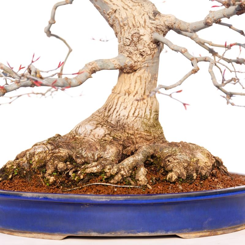 Acer deshojo - 68 cm