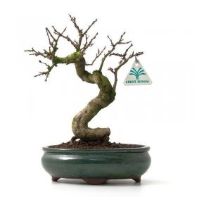 Carpinus coreana - carpino - 26 cm