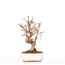 Malus evereste - 41 cm