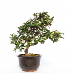 Camellia Japonica bianca - 85 cm