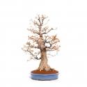 Acer palmatum corticosa Arakawa - 78 cm