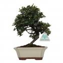 Cotoneaster - cotognastro - 23 cm