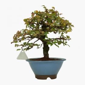 Carpinus coreana - carpino - 28 cm