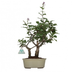 Syringa vulgaris - lilla - 31 cm