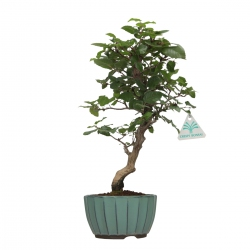 Carpinus turczaninowii - Charme - 35 cm