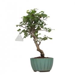 Carpinus turczaninowii - Hornbeam - 35 cm