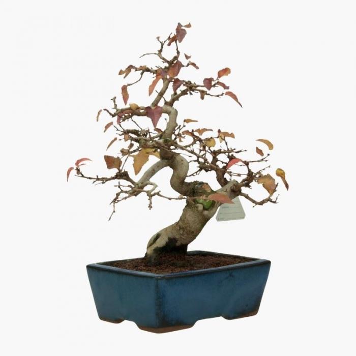 Carpinus coreana - carpino - 30 cm