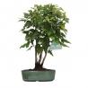 Acer buergerianum - érable - 24 cm
