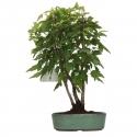 Acer buergerianum - acero - 24 cm