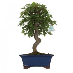 Acer buergerianum - acero - 38 cm