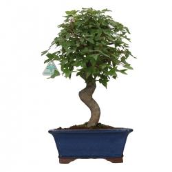 Acer buergerianum - érable - 38 cm