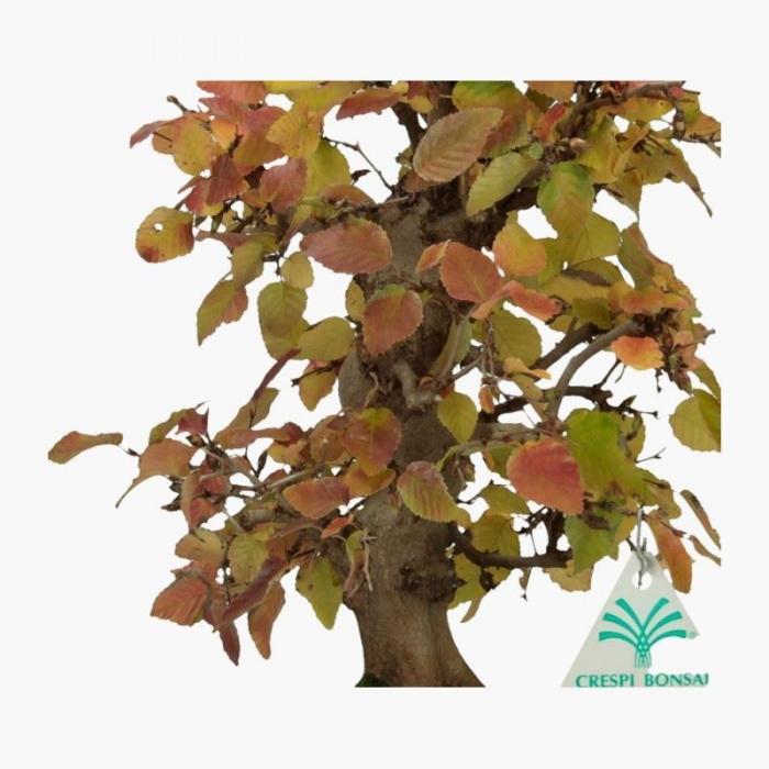 Carpinus coreana - carpino - 35 cm