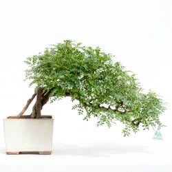 Zanthoxylum - Albero del pepe - 47 cm