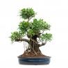 Ficus retusa - 70 cm