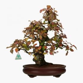 Carpinus coreana - carpino - 41 cm