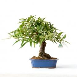 Ficus erecta - Fico - 42 cm