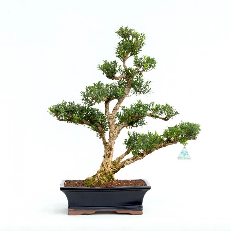 Buxus harlandii - Bosso - 56 cm