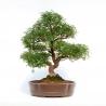 Zanthoxylum - Albero del pepe - 83 cm