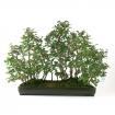 Carpinus coreana - carpino - 53 cm
