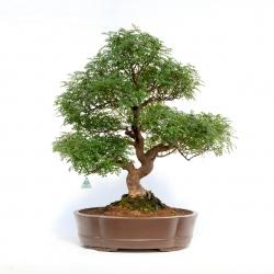 Zanthoxylum - Pepper tree - 83 cm