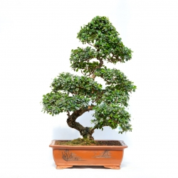 Carmona macrophylla -  Pianta del tè - 100 cm