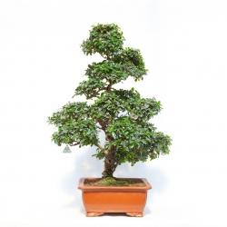 Carmona macrophylla -  Abre à thé - 100 cm