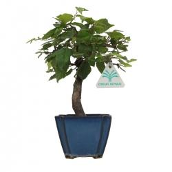 Carpinus laxiflora - 23 cm
